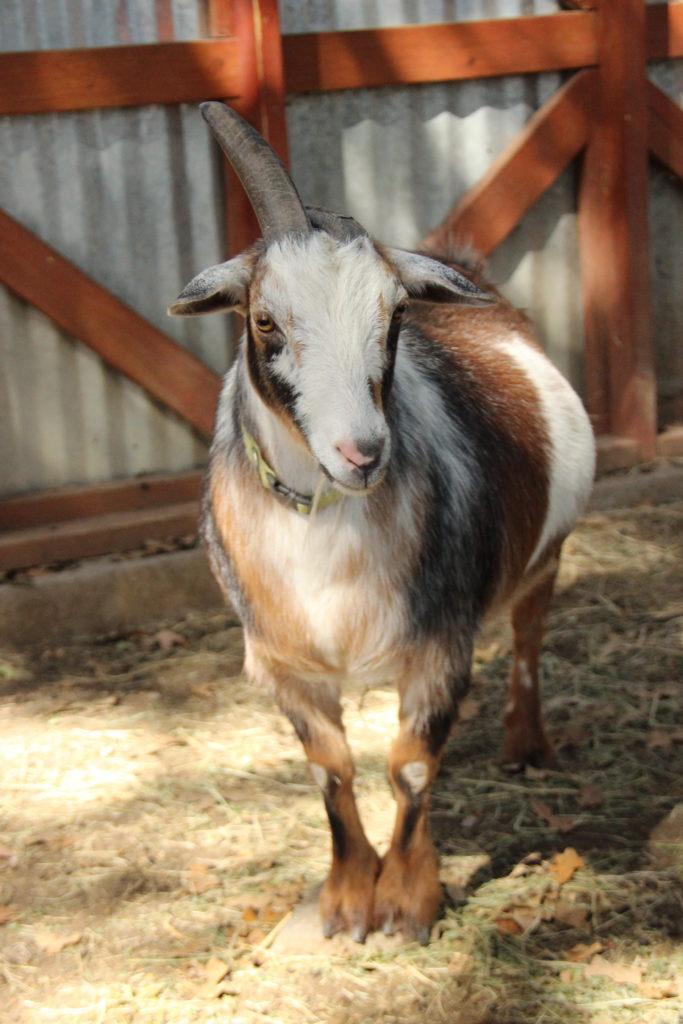 Merrie ( Male )