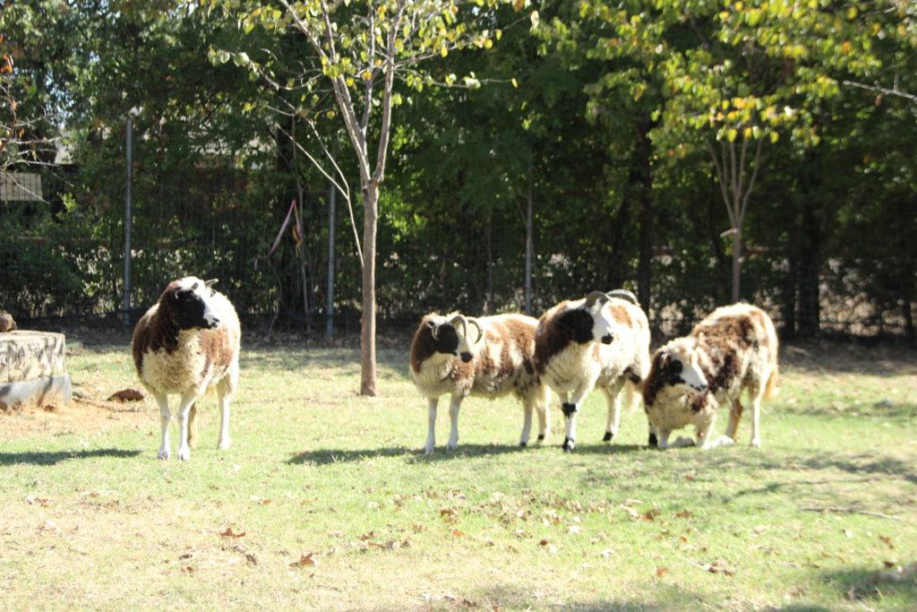 The sheep squad